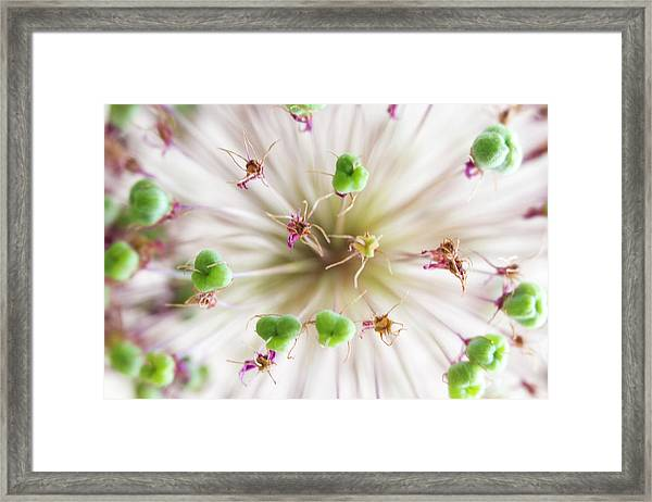 Allium Zoom Framed Print