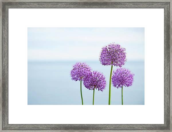 Alliums 1 Framed Print