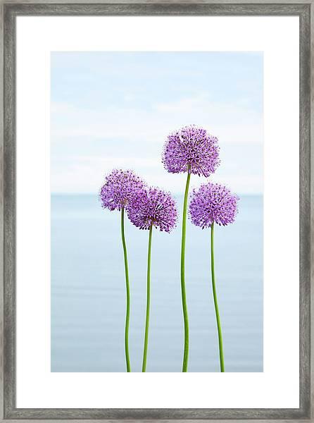 Alliums 2 Framed Print