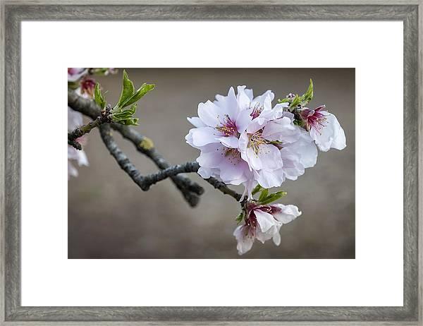 Almond I Framed Print