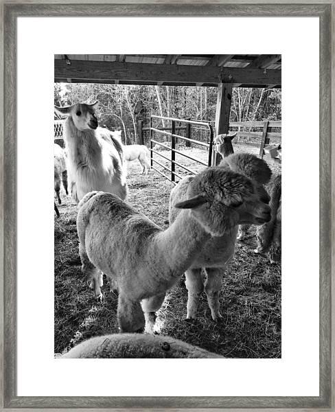 Alpaca Meeting  Framed Print