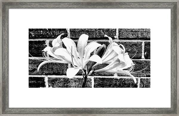 Amaryllis Inspiration Framed Print