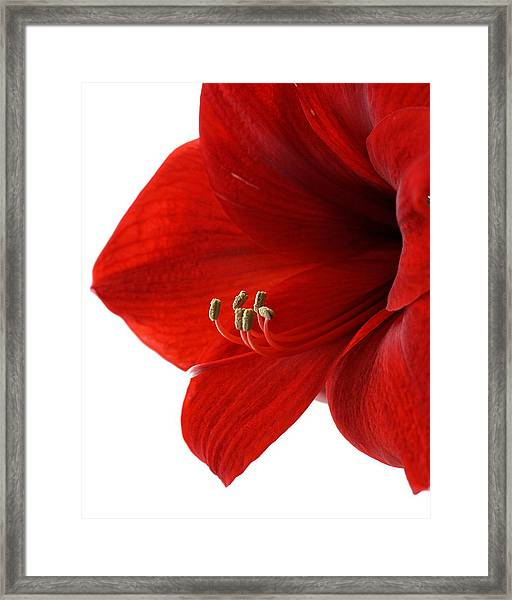 Amaryllis On White 3 Framed Print