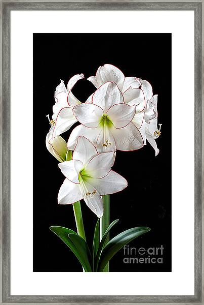 Amaryllis 'picotee' Framed Print