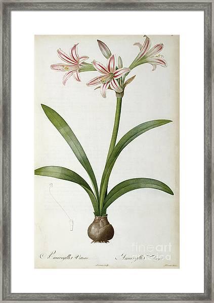 Amaryllis Vittata Framed Print