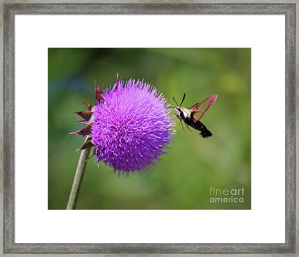 Amazing Insects - Hummingbird Moth Framed Print