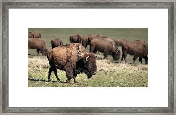 American Bison 5 Framed Print