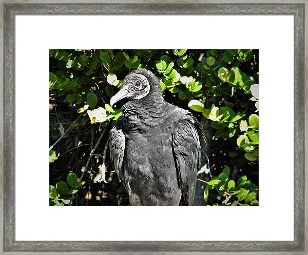 American Black Vulture Framed Print
