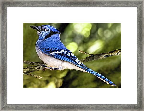 Blue Jay Bokeh Framed Print