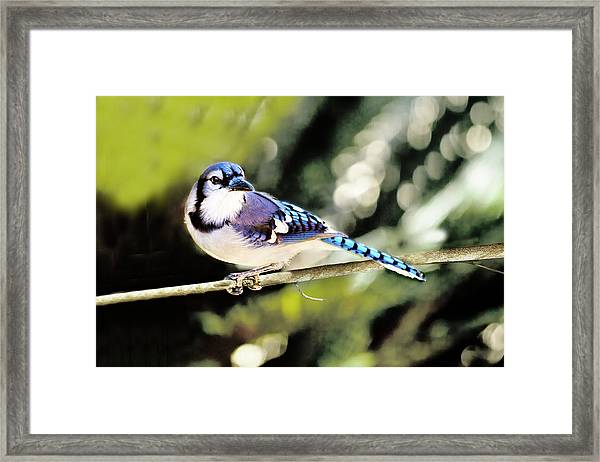 American Blue Jay On Alert Framed Print