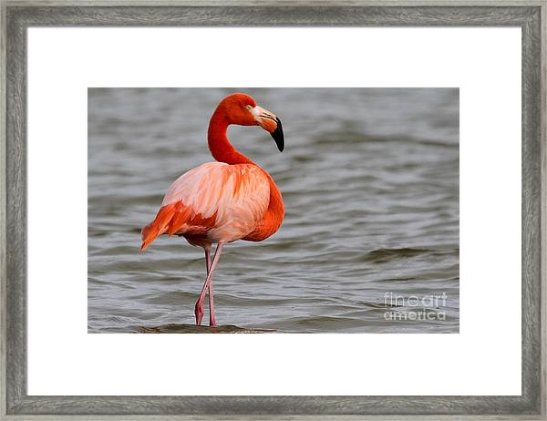 American Flamingo Framed Print