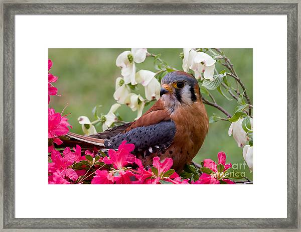 American Kestrel In The Springtime Framed Print