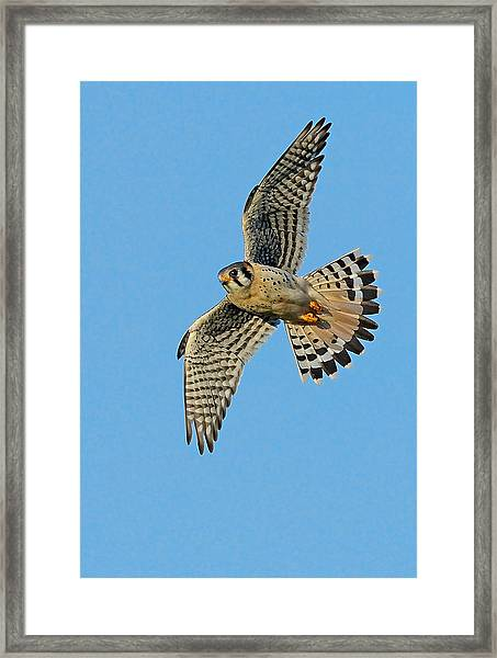 Framed Print featuring the photograph American Kestrel  by William Jobes