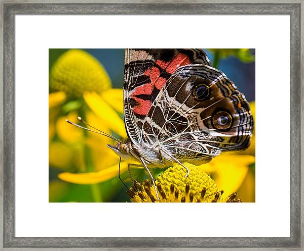 American Lady Butterfly Framed Print