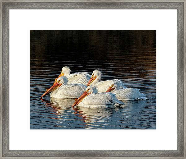 Framed Print featuring the photograph American Pelicans - 03 by Rob Graham