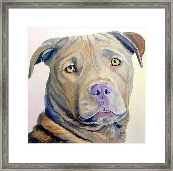American Pitbull Terrier Framed Print