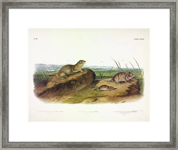 American Souslik, Oregon Meadow Mouse, Texan Meadow Mouse Framed Print