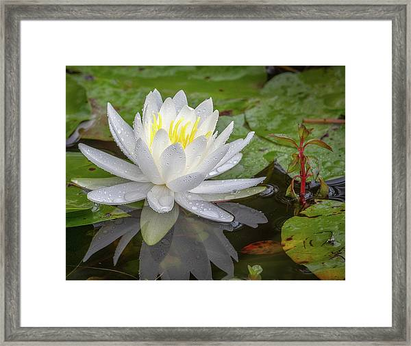 American White Water Lily Framed Print