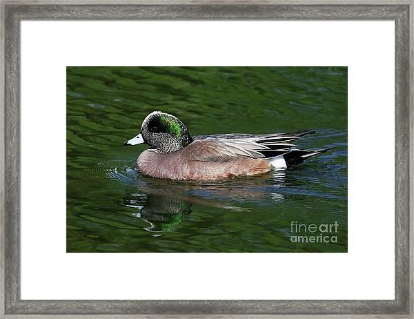 American Wigeon Anas Americana Duck Framed Print