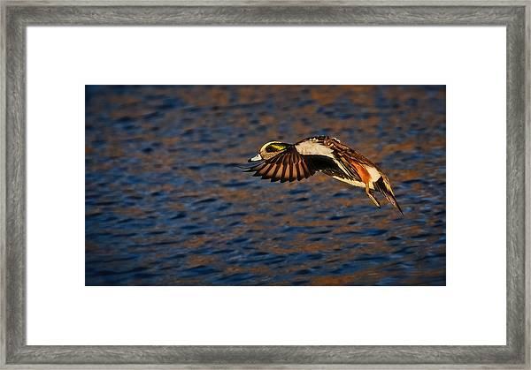 American Wigeon In Aerial Navigation Framed Print