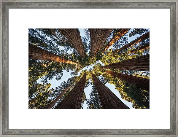 Amongst The Giant Sequoias Framed Print