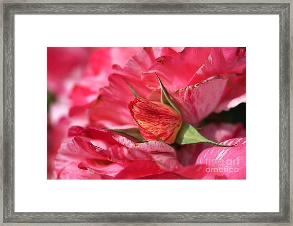 Amongst The Rose Petals Framed Print