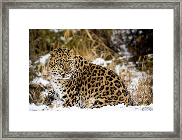 Amur Leopard In A Snowy Forrest Framed Print