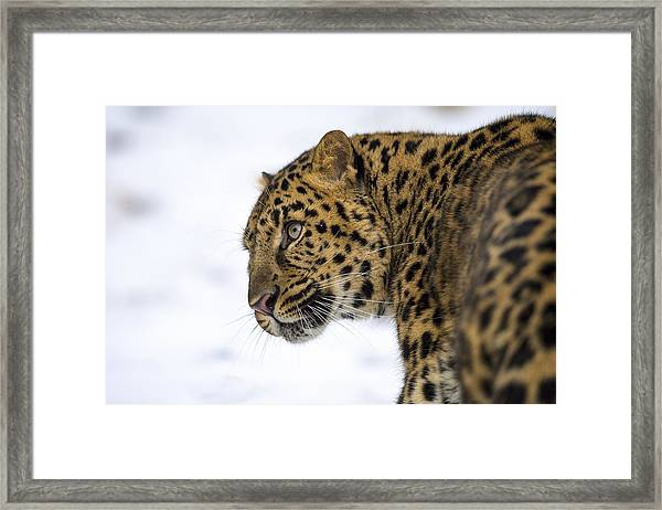 Amur Leopard In The Snow Framed Print