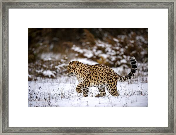 Amur Leopard Walks In A Snowy Forest Framed Print