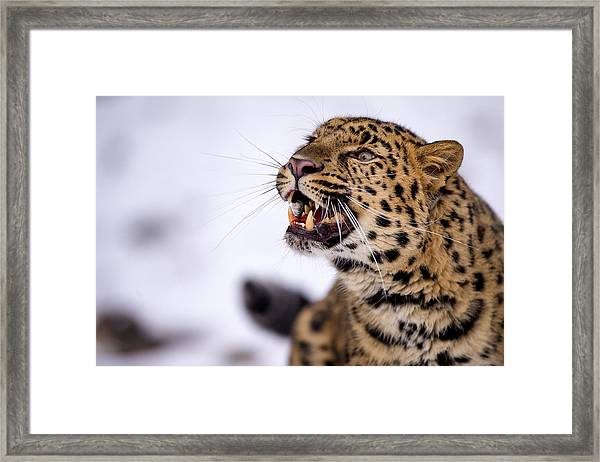 Amur Leopard With A Bloody Smile Framed Print
