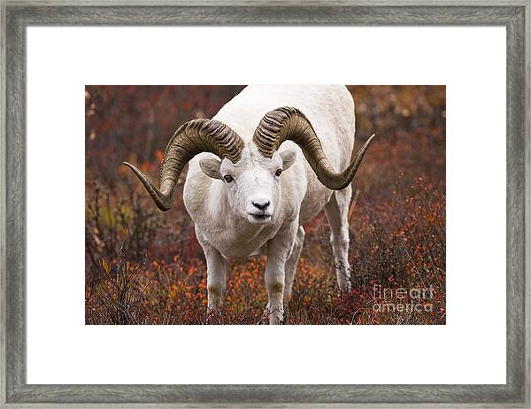 An Exceptional Ram Framed Print by Tim Grams