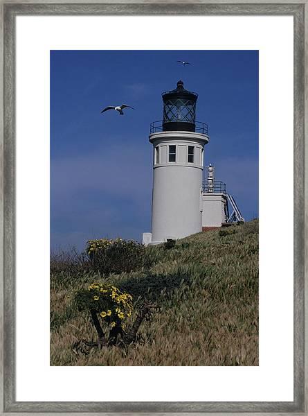 Anacapa Lighthouse And Western Gulls Framed Print