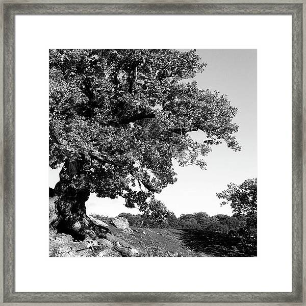 Ancient Oak, Bradgate Park Framed Print