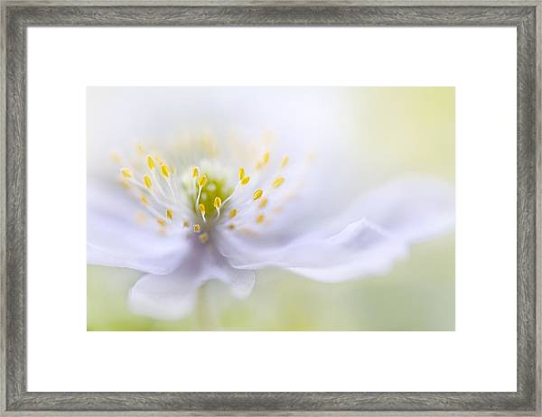 Anemone Beauty Framed Print