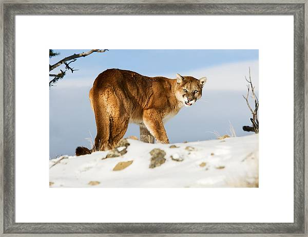 Angry Mountain Lion Framed Print