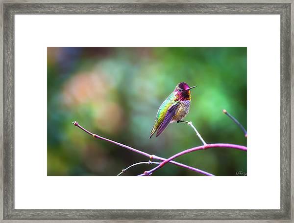 Anna's Hummingbird II Framed Print