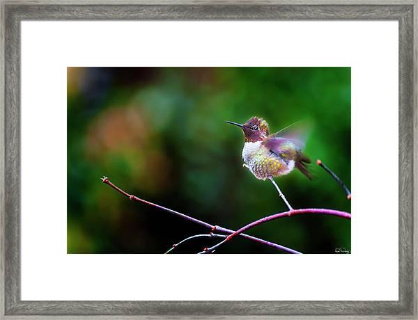 Anna's Hummingbird IIi Framed Print