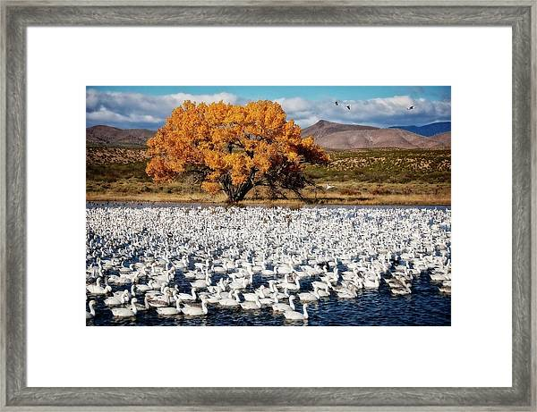 Annual Snow Geese Meet-up, Bosque Del Apache, New Mexico Framed Print