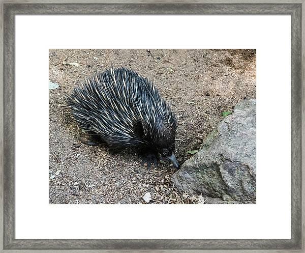 Anteater Framed Print