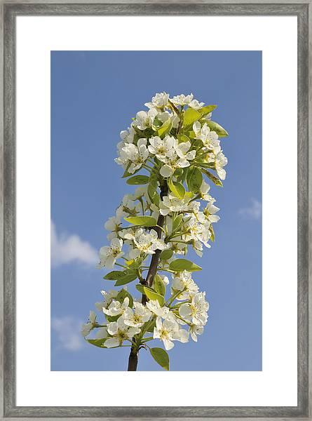 Apple Blossom In Spring Framed Print