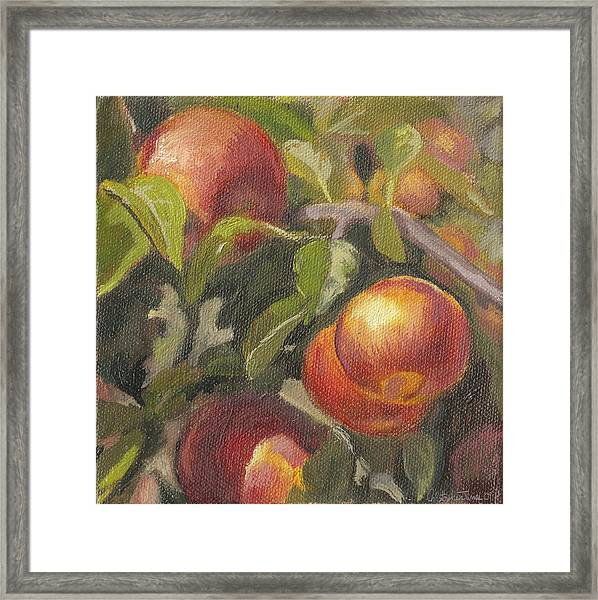 Apples In The Orchard Framed Print by Christopher James