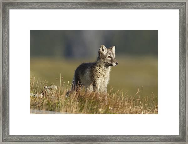 Arctic Fox Puppie Framed Print by Karen Kolbeck