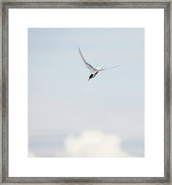 Arctic Tern Diving Framed Print