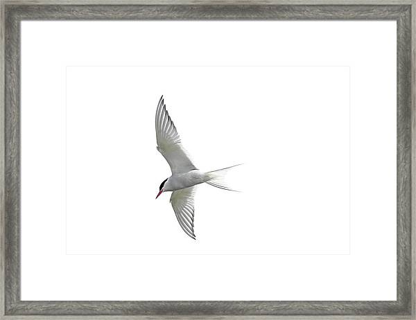 Arctic Tern Flying In Mist Framed Print