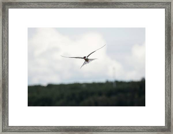 Arctic Tern In Flight Framed Print
