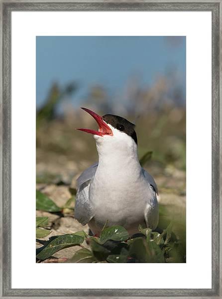 Arctic Tern - St John's Pool, Scotland Framed Print