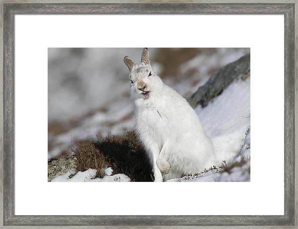 Are You Kidding? - Mountain Hare #14 Framed Print