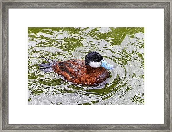 Argentine Ruddy Duck Framed Print