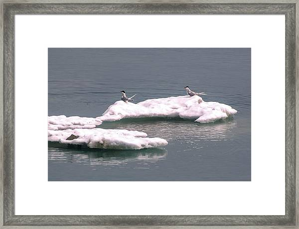 Arctic Terns On A Bergy Bit Framed Print