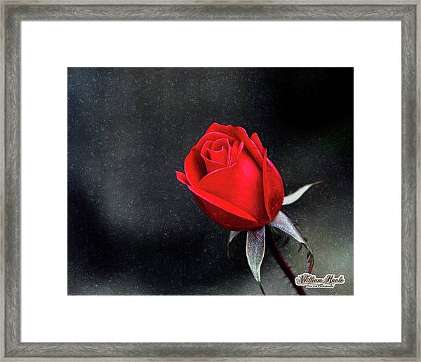 Framed Print featuring the photograph Artists Red Rose by William Havle
